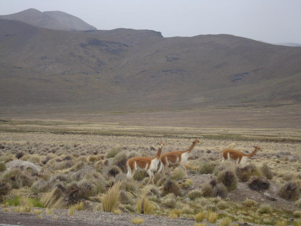 vicuñas en Chivay (Perú)
